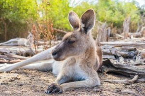picture of aAustralia kangaroo in its resting place. never provoke one