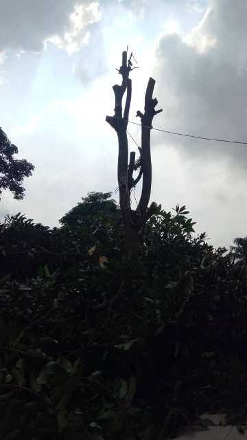 The top of the mango tree full of branches and leaves causing maintenance issues with dead leaves